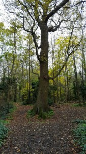 Cannon Hill Common Tree